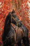Retrato do cavalo do frisão Imagem de Stock Royalty Free