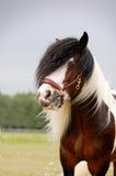 Retrato do cavalo do funileiro Fotos de Stock