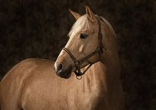 Retrato do cavalo do Palomino Foto de Stock Royalty Free