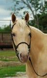 Retrato do cavalo do Palomino Imagem de Stock