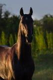 Retrato do cavalo exterior imagem de stock