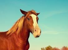 Retrato do cavalo marrom Fotos de Stock Royalty Free