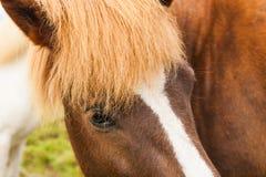 Retrato do cavalo marrom bonito Imagem de Stock
