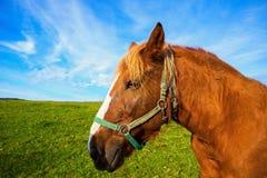 Retrato do cavalo marrom do haflinger Foto de Stock Royalty Free