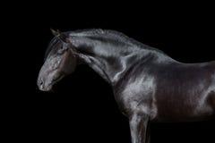 Retrato do cavalo no preto Imagens de Stock