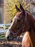 Retrato do cavalo, perfil, cavalo de Brown com listra branca fotografia de stock royalty free