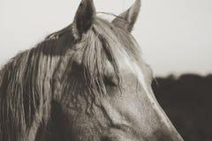 Retrato do cavalo do perfil no sepia para a sensação da exploração agrícola do vintage fotografia de stock royalty free