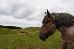 Retrato do cavalo pesado no campo Fotografia de Stock