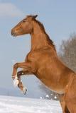 Retrato do cavalo prancing do sorrel imagem de stock