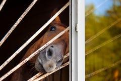 Retrato do cavalo que olha para fora a janela Imagem de Stock