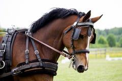 Retrato do cavalo que puxa o transporte no verão Imagem de Stock