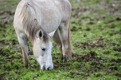 Retrato do cavalo selvagem de Salt River Fotos de Stock
