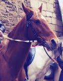 Retrato do cavalo vermelho bonito Fotografia de Stock