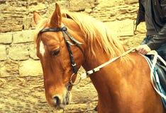 Retrato do cavalo vermelho bonito Fotografia de Stock Royalty Free