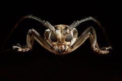 Retrato do cerambycidae do besouro Lineolata de Batocera Fotos de Stock Royalty Free