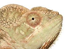 Retrato do Chameleon imagem de stock