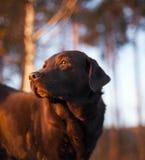 Retrato do chocolate labrador retriever Fotografia de Stock Royalty Free