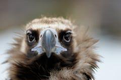 Retrato do close-up do abutre Imagem de Stock Royalty Free