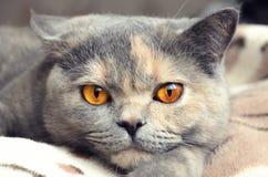 Retrato do close up britânico do gato do shorthair Foto de Stock