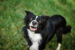 Retrato do close up do cão preto e branco ativo no fundo da grama verde com as maxilas abertas durante o dia de verão quente imagem de stock royalty free