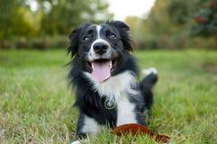 Retrato do close up do cão preto e branco que encontra-se na terra com a língua que pendura para fora durante o dia de verão quen imagem de stock