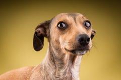 Retrato do close-up da cara do cão foto de stock