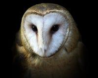 Retrato do close-up da coruja de celeiro fotografia de stock royalty free