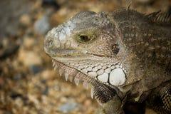 Retrato do close-up da iguana Foto de Stock Royalty Free