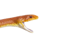 Retrato do close up da serpente de rato de Texas fotografia de stock