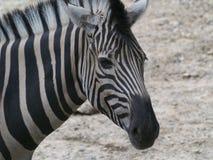 Retrato do close-up da zebra imagens de stock