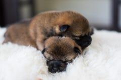 Retrato do close-up de dois cachorrinhos recém-nascidos bonitos de Shiba Inu que dormem na cobertura branca fotografia de stock royalty free