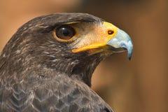 Retrato do close-up de Eagle dourado fotografia de stock