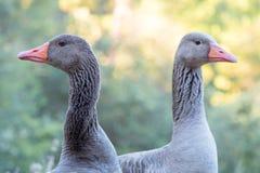 Retrato do close-up de gansos cinzentos do anser do Anser em um campo distante Imagens de Stock