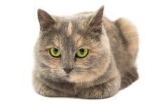 Retrato do close-up de gato misturado da raça isolado Foto de Stock