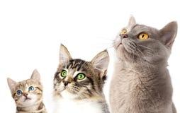 retrato do close-up de 3 gatos Imagens de Stock Royalty Free