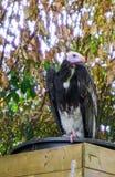 Retrato do close up de um abutre dirigido branco um specie criticamente posto em perigo do Velho Mundo dos abutres imagem de stock