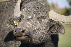 Retrato do close-up de um búfalo de água fotografia de stock