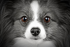 Retrato do Close-up de um cão da raça do papillon Imagens de Stock