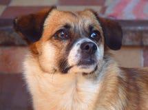 Retrato do close-up de um cão doméstico com olhos tristes Foto de Stock