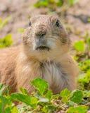 Retrato do close up de um cão de pradaria muito bonito, peludo, e expressivo no parque nacional do ermo fotos de stock
