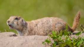 Retrato do close up de um cão de pradaria muito bonito, peludo, e expressivo no parque nacional do ermo fotografia de stock royalty free