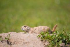 Retrato do close up de um cão de pradaria muito bonito, peludo, e expressivo no parque nacional do ermo imagem de stock