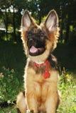 Retrato do close-up de um cachorrinho alemão novo bonito do cão-pastor que senta-se na grama verde Imagens de Stock Royalty Free