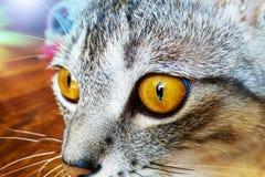Retrato do close up de um gato com os olhos amarelos brilhantes foto de stock