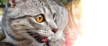 Retrato do close up de um gato com os olhos amarelos brilhantes no branco imagens de stock