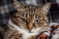 Retrato do close up de um gato marcado com olhos verdes imagens de stock