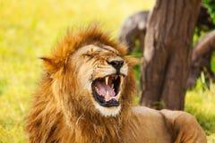 Retrato do close-up de um leão de bocejo velho Fotos de Stock