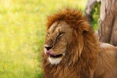 Retrato do close-up de um leão velho que lambe seus bordos Imagem de Stock