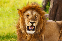 Retrato do close-up de um leão velho rujir Imagens de Stock