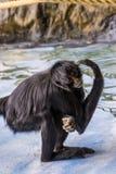 Retrato do close up de um macaco de aranha de cabeça negra que risca sua cabeça, primata criticamente posto em perigo de América imagens de stock royalty free